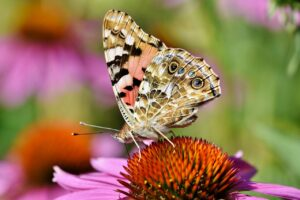 painted lady butterfly, butterfly, coneflower